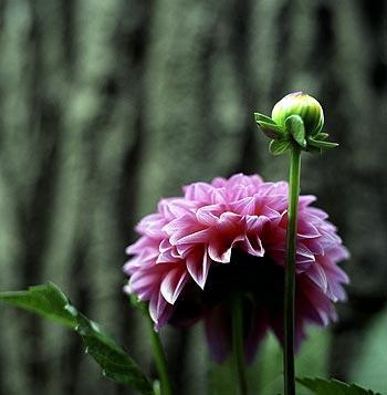 dahlia boule rose fleur de jardin. Black Bedroom Furniture Sets. Home Design Ideas
