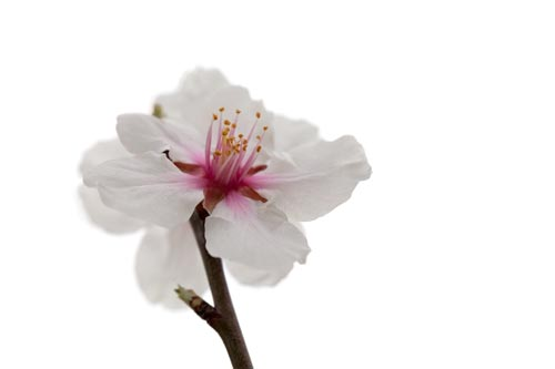 fleurs d 39 amandier annon ant le printemps m diterran en. Black Bedroom Furniture Sets. Home Design Ideas